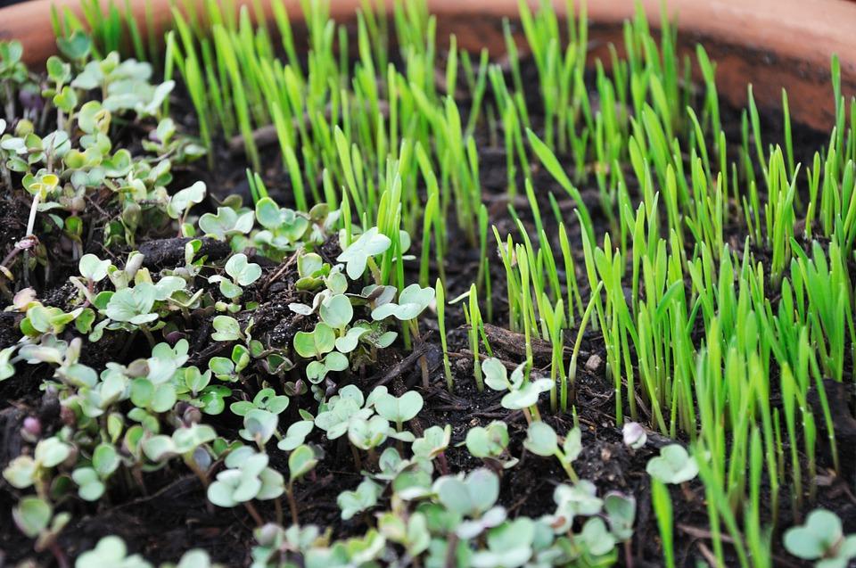 microgreens, micro-ortaggi