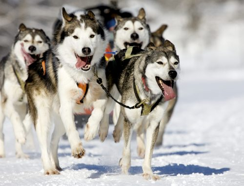 Sleddog: dove provare la slitta trainata dai cani